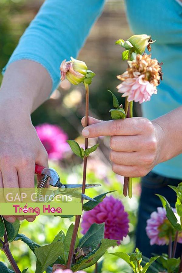 Làm thế nào để cắt tỉa hoa thược dược