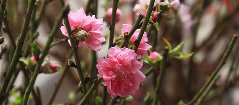 Tìm hiểu tất cả về hoa đào Prunus persica
