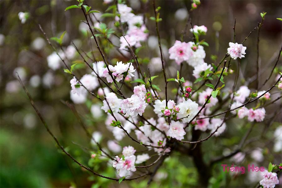 Ý nghĩa hoa mai trắng ngày Tết