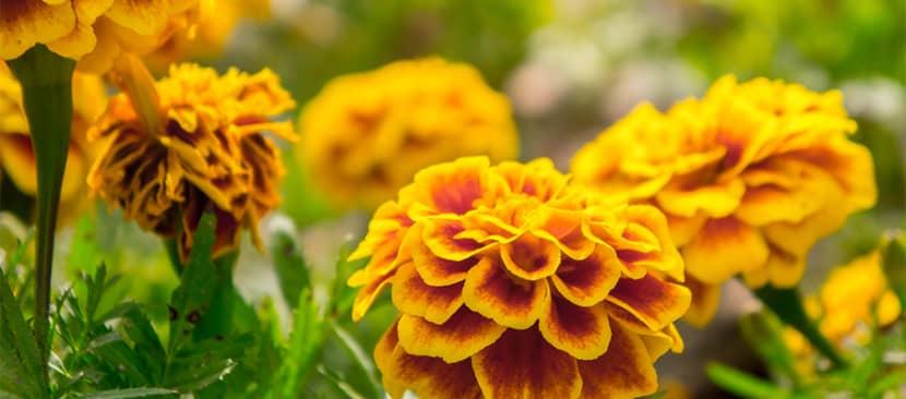 Nhân giống hoa cúc vạn thọ bằng cành giâm