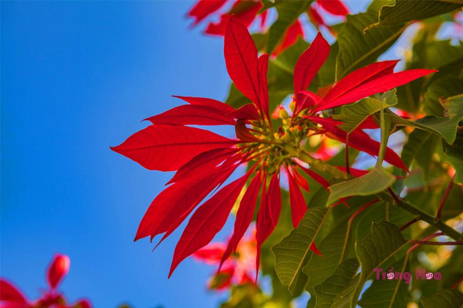 Nguồn gốc đặc điểm hoa trạng nguyên Poinsett