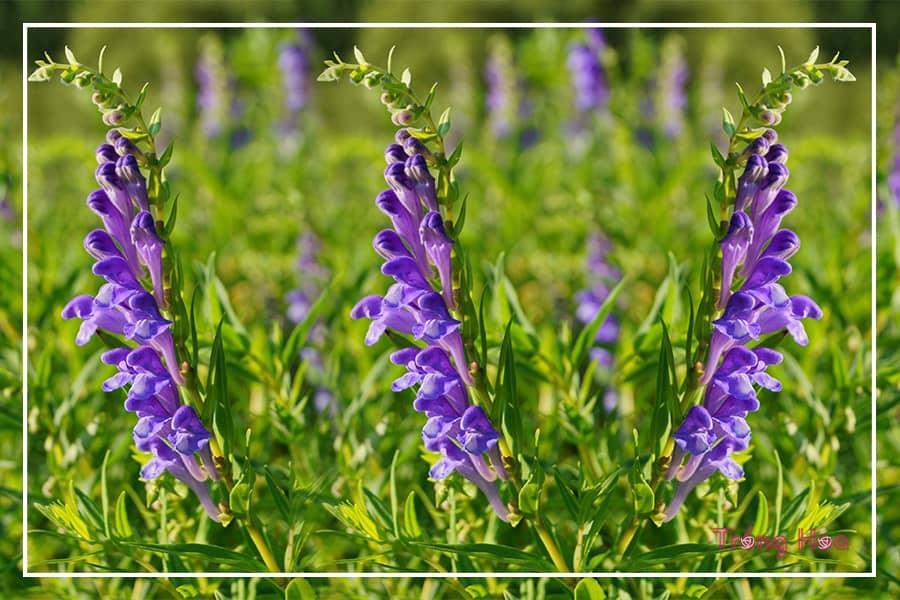Tìm hiểu về cây hoa hoàng cầm - Bán chi liên