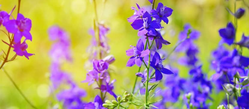 Tìm hiểu đặc điểm về hoa violet