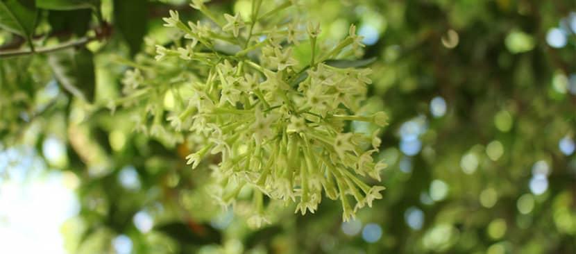Sự tích hoa dạ lý hương