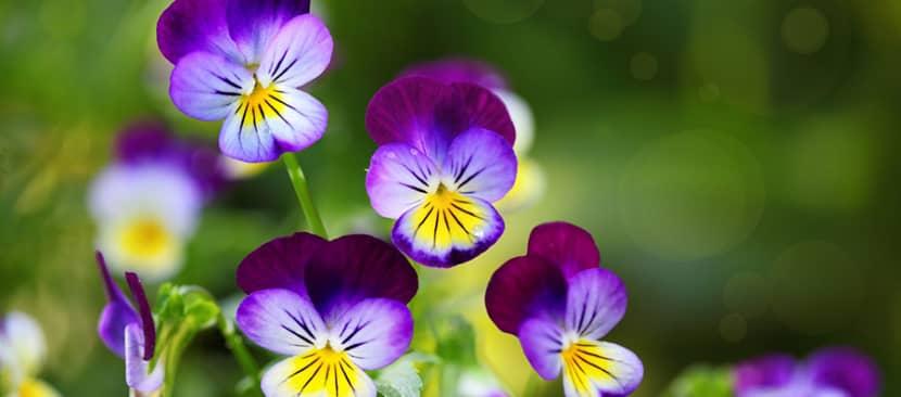 Những bài thơ hay về hoa păng xê