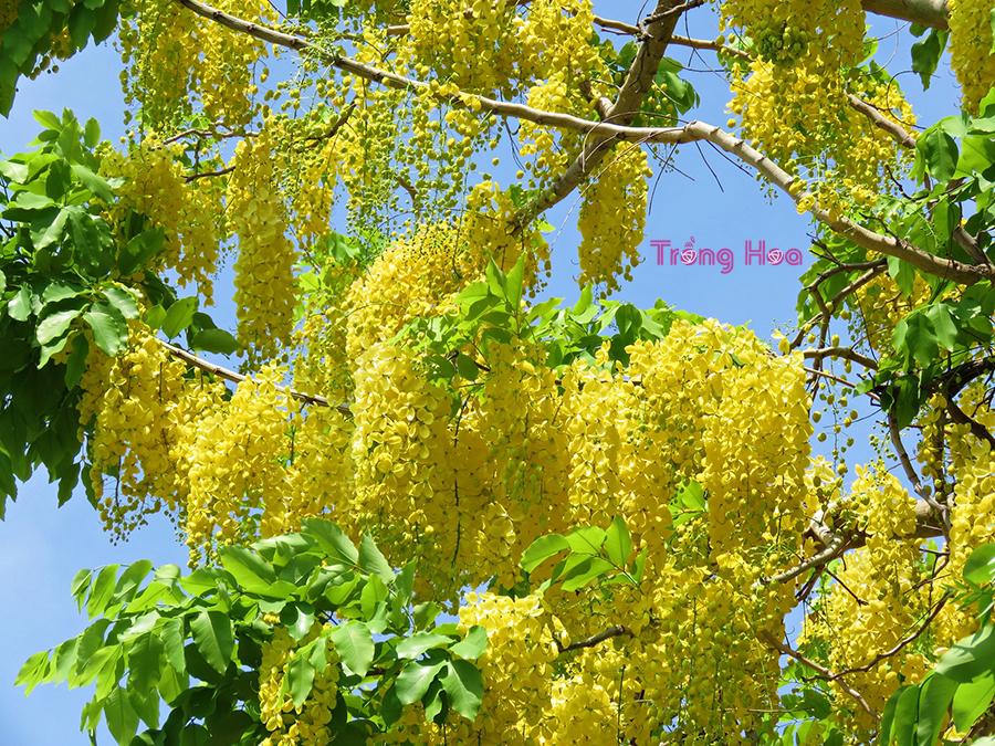 Hoa muồng hoàng yến - Cassia fistula