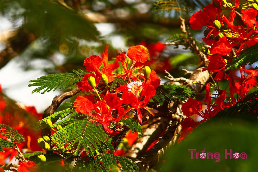 Hoa phượng vĩ - Delonix regia