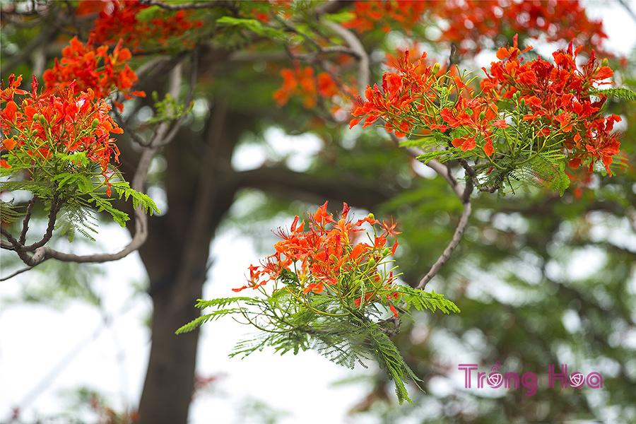 Hoa phượng Delonix regia