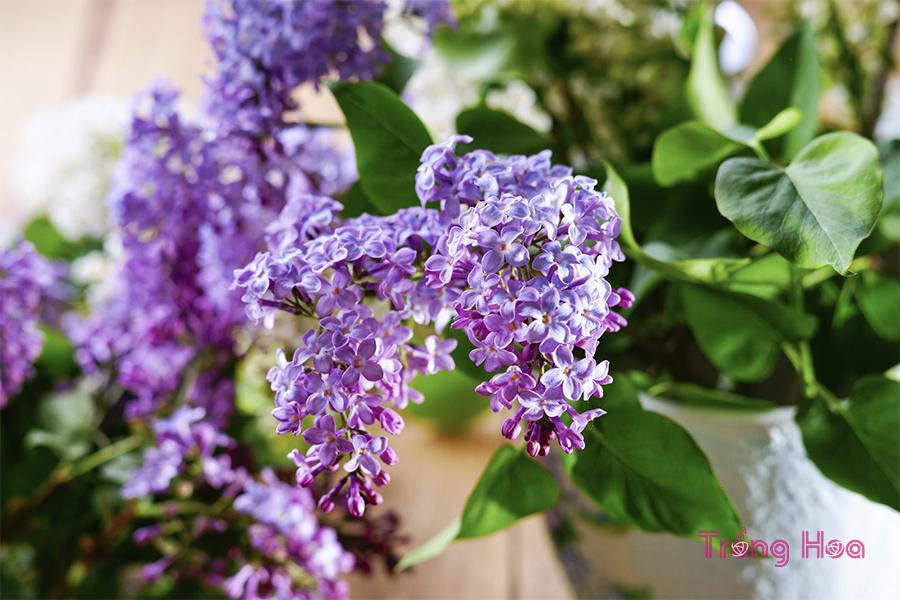 Cách trồng hoa tử đinh hương bằng hạt giống