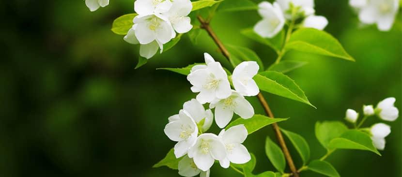 Sự tích về hoa nhài