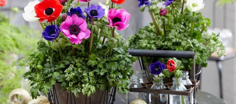 Cách trồng hoa hải quỳ từ củ