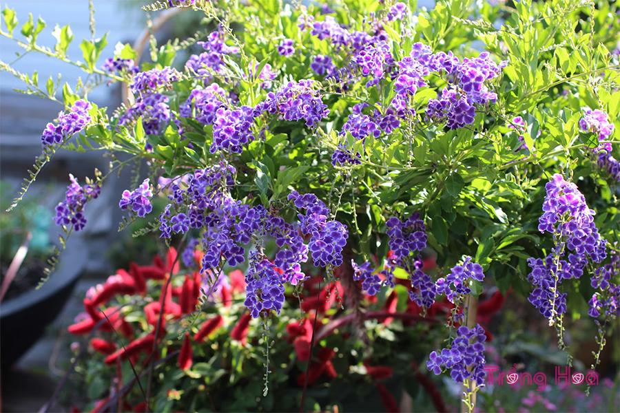 Sự tích và ý nghĩa hoa găng tím