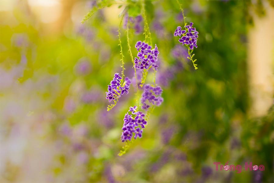 Ý nghĩa hoa găng tím