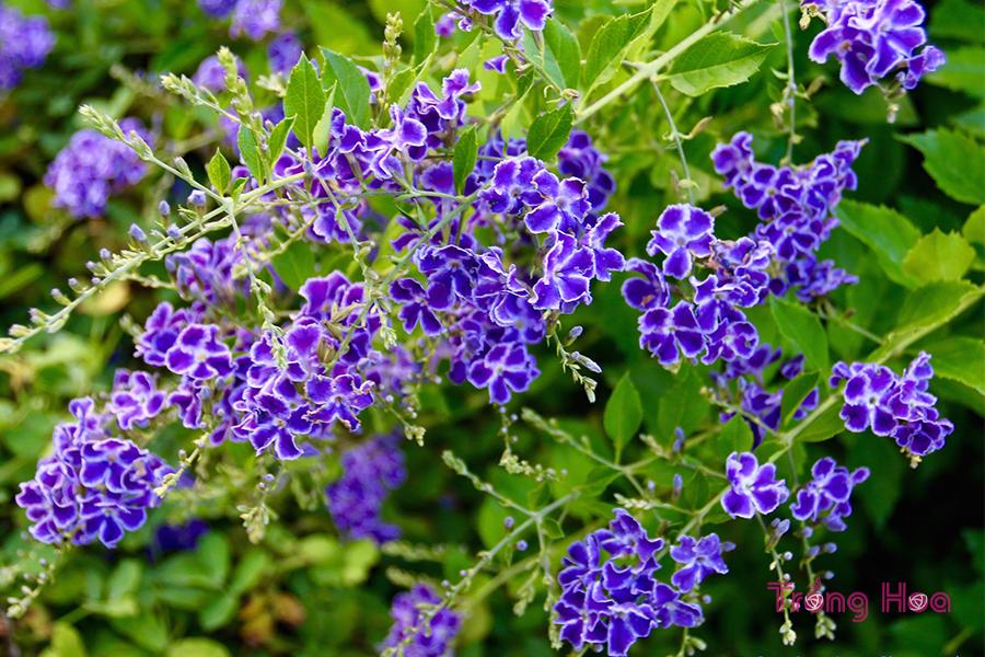 Hoa găng tím hay còn gọi hoa thanh quan, chuỗi ngọc