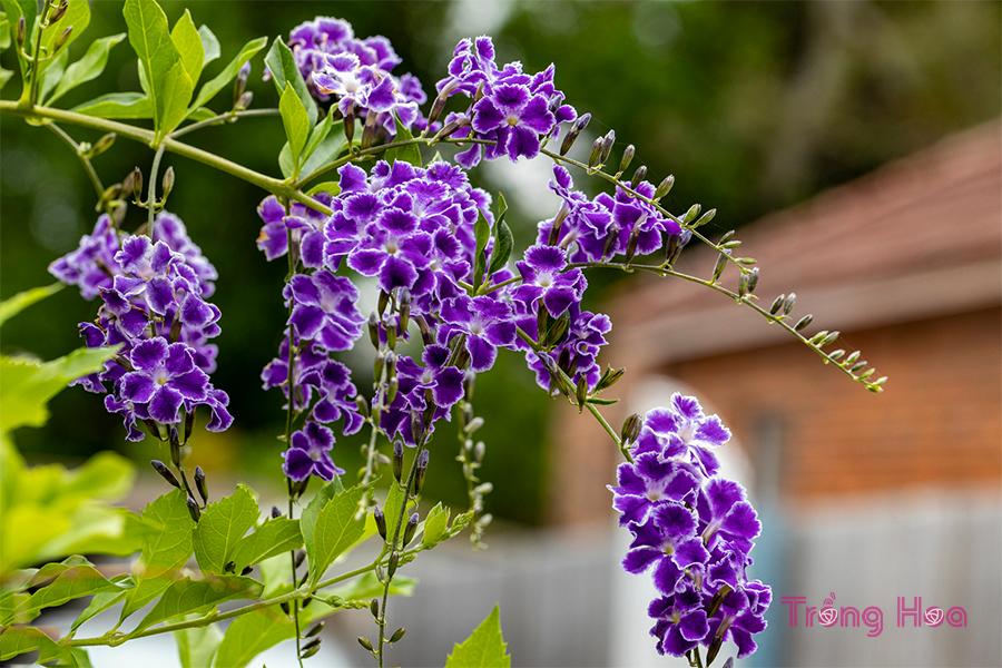 Hoa chuỗi ngọc (thanh quan) – Duranta erecta