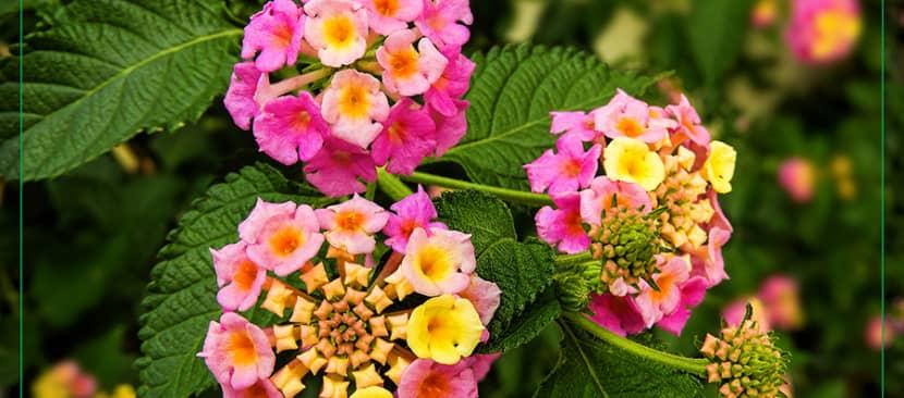 Sự tích hoa ngũ sắc thần kỳ