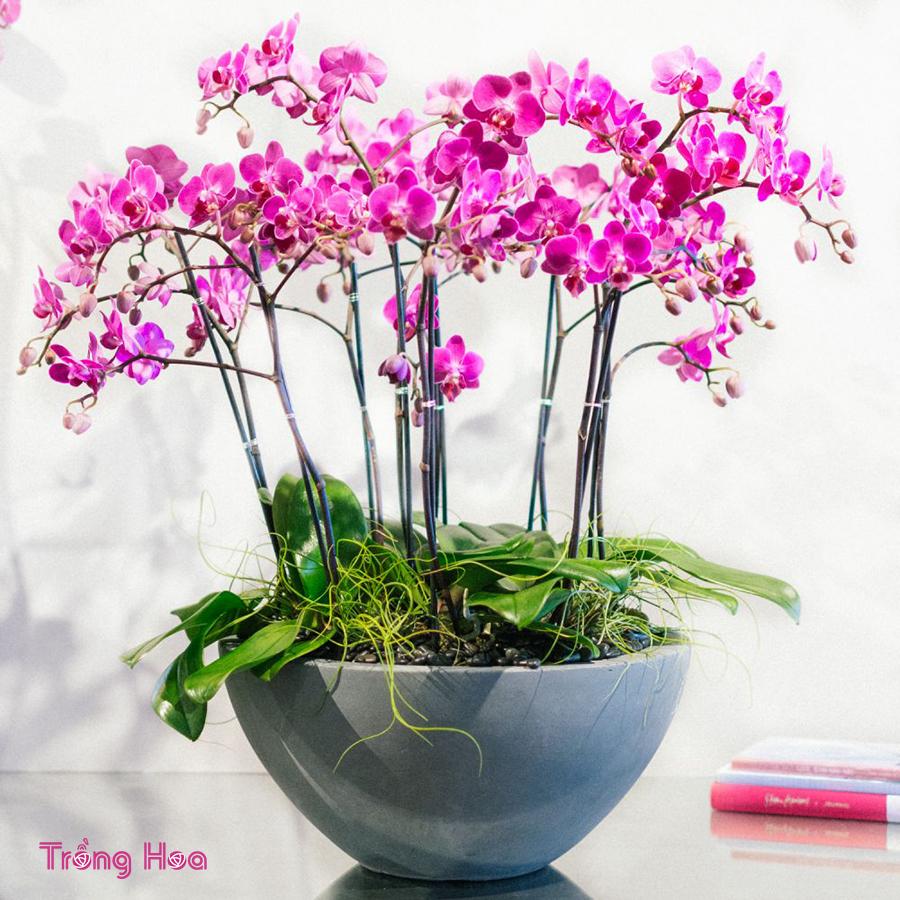 Sự tích hoa phong lan