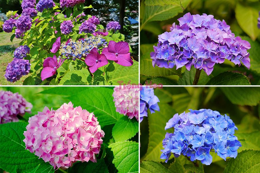 Cách trồng hoa cẩm tú cầu bằng hạt giống