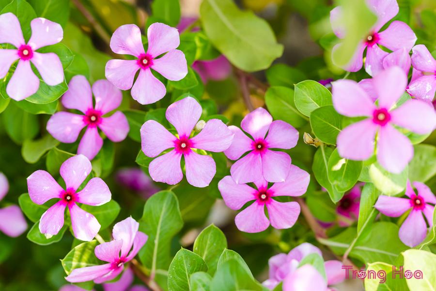 Tìm hiểu tất tần tật về hoa dừa cạn