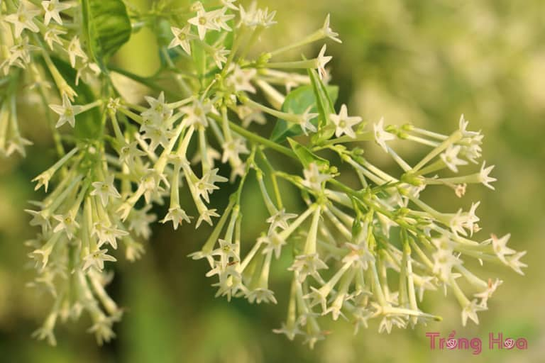 Sự tích hoa dạ hương