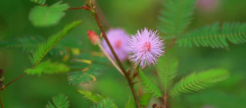 Tìm hiểu về hoa trinh nữPudica