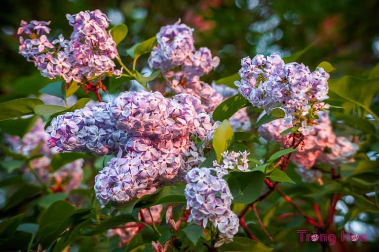 Những bài thơ hay về hoa tử đinh hương