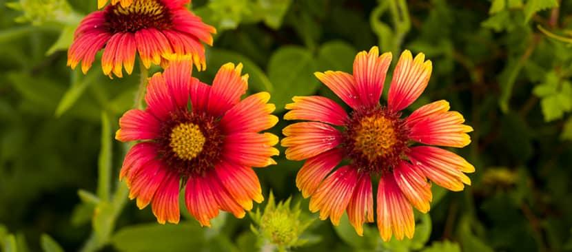 Cách trồng và chăm sóc hoa cúc lạc