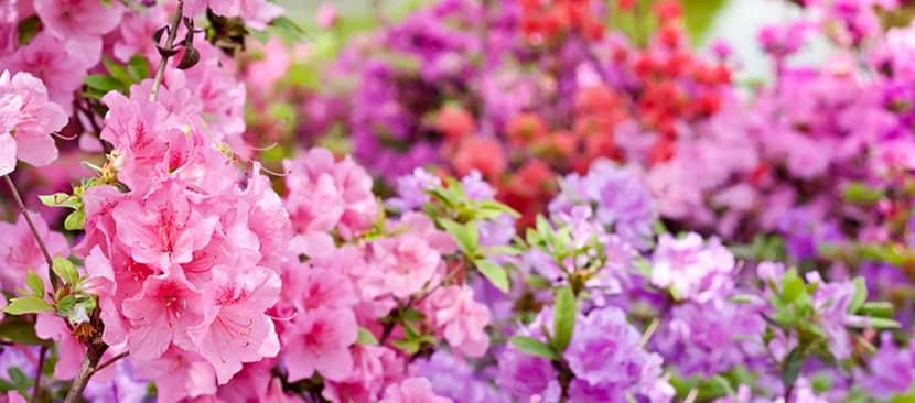 Cách gieo hạt trồng hoa đỗ quyên