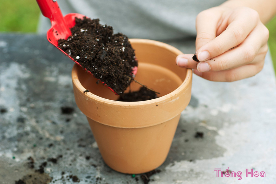 Đổ đầy 2/3 chậu với hỗn hợp bầu đất rêu than bùn