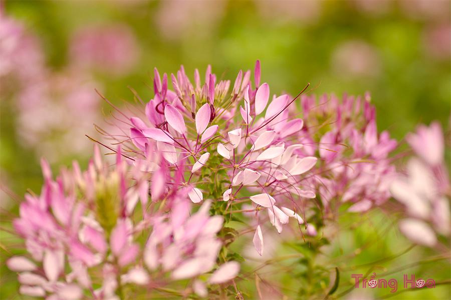 Cách trồng hoa túy điệp từ hạt giống