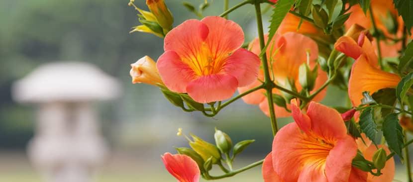 cách cắt tỉa cây hoa đăng tiêu