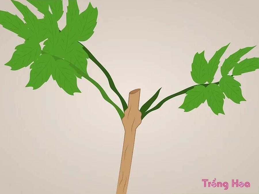 Cách cắt tỉa cây hoa huỳnh liên