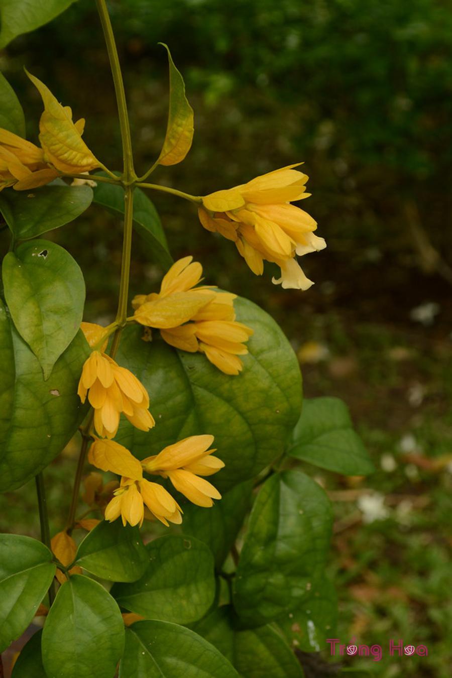 Tìm hiểu về cây hoa lan hoàng dương