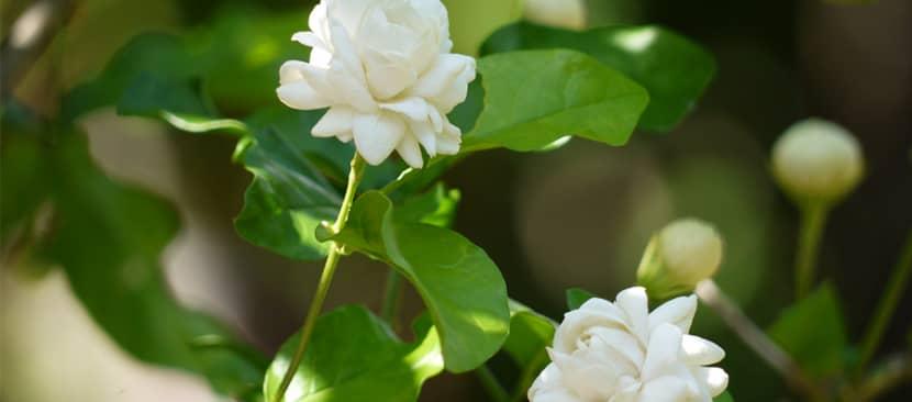 Hướng dẫn cách giâm cành cây hoa nhài
