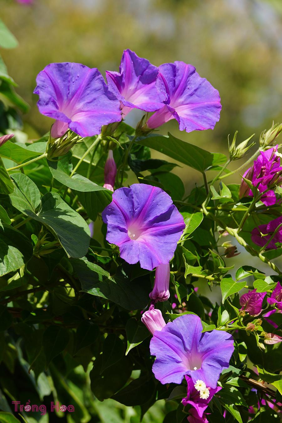 Đặc điểm hình thái cây hoa bìm bìm