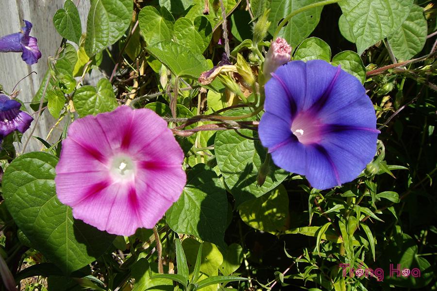 Hoa có khả năng chuyển từ màu lam sang màu hồng, tím từ sáng đến chiều.