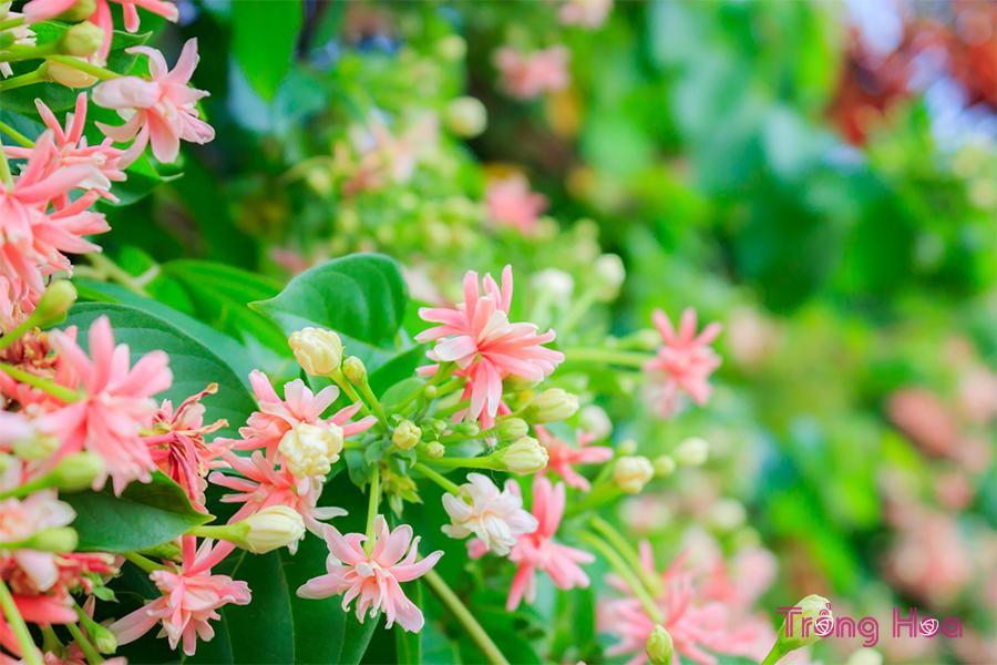 Tìm hiểu về hoa sử quân tử