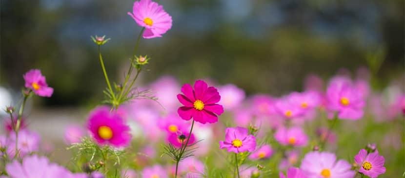 Cách trồng nhân giống hoa cúc sao nháy