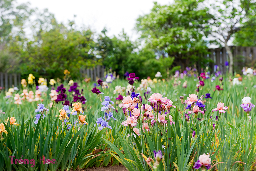 Những bài thơ hay về hoa diên vĩ