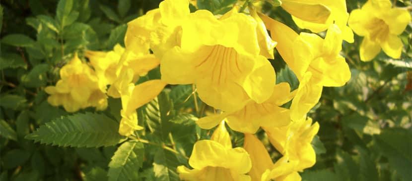 Cách trồng hoa huỳnh liên