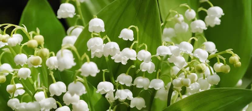 Sự tích và truyền thuyết về hoa linh lan