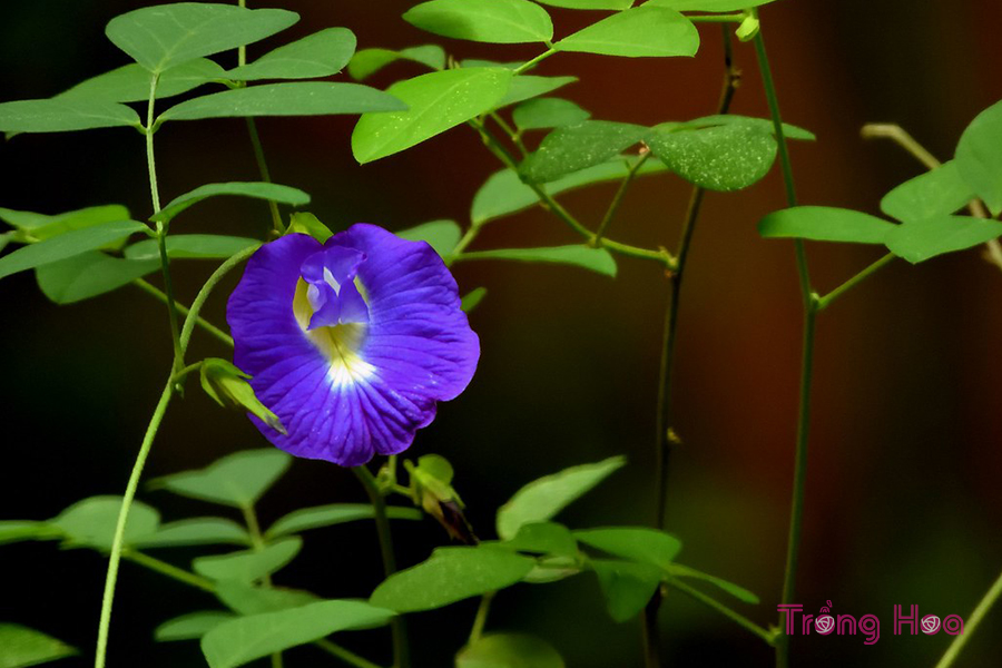 Ý nghĩa của hoa đậu biếc
