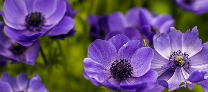 Ý nghĩa của hoa hải quỳ