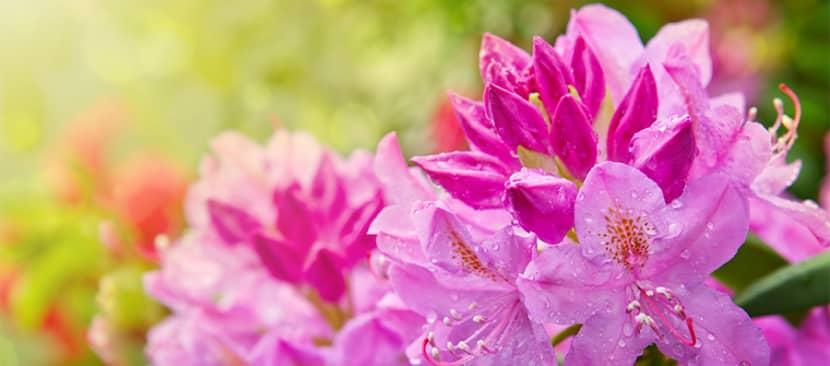 Tìm hiểu nguồn gốc và đặc điểm cây hoa đỗ quyên