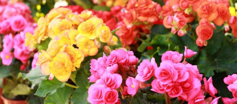 Tìm hiểu về hoa thu hải đường