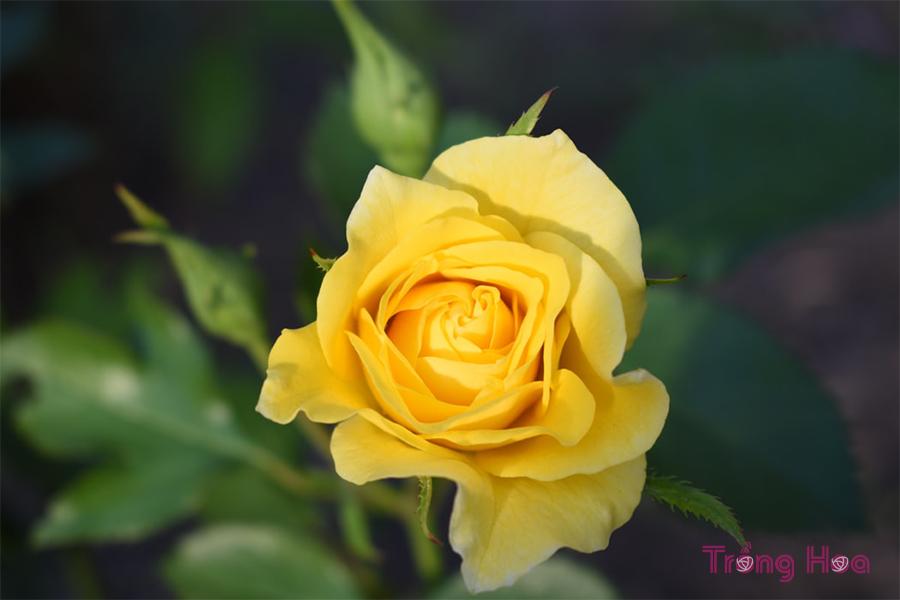 Sự tích hoa hồng vàng