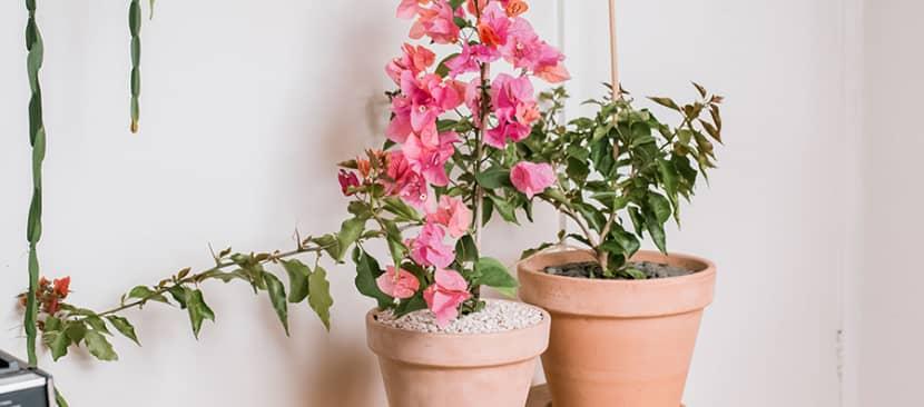 cách trồng hoa giấy trong nhà