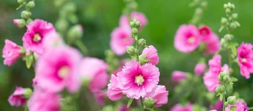 Cách giâm rễ trồng hoa mãn đình hồng