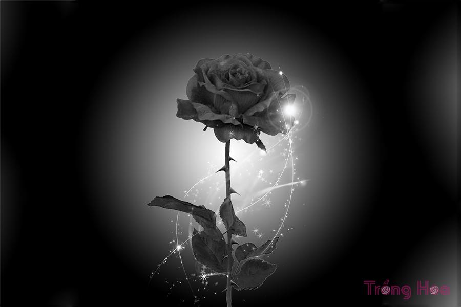 Sự tích hoa hồng đen