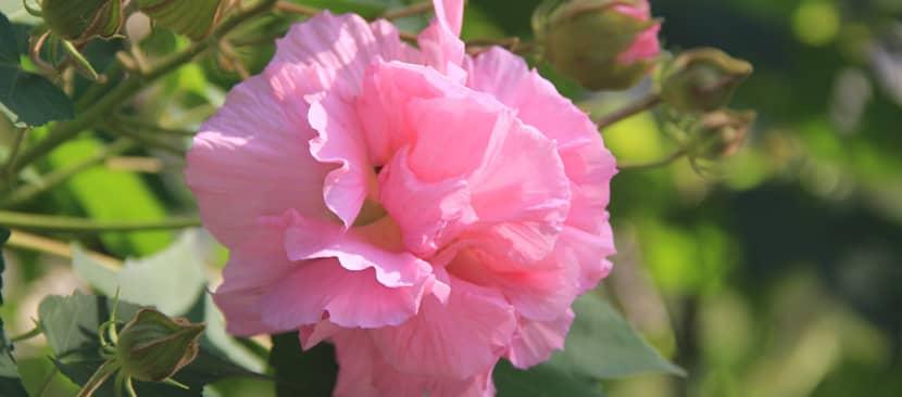 Những bài thơ hay về hoa phù dung